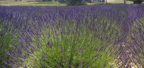 Parcours lavande dans le Luberon, au cœur de la Haute-Provence